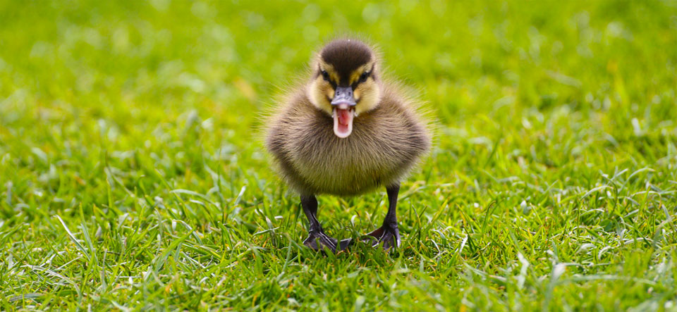 A photo of a small duckling facing the camera with it's beak open as if shouting.