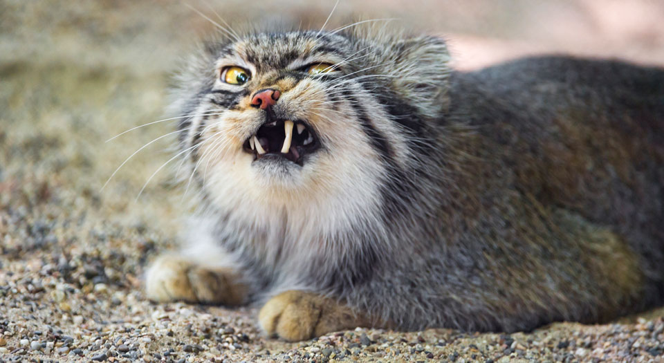 A photo of a grey cat snarling showing their teeth with one eye shut.
