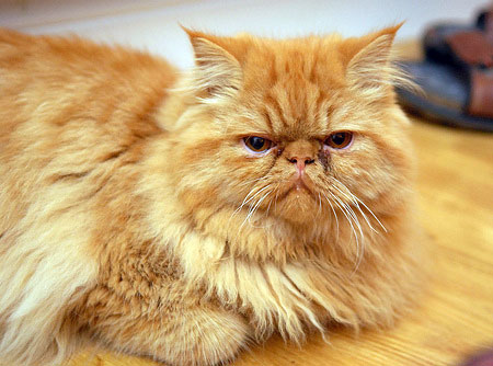 A photograph of a ginger coloured cat sat down looking extremely grumpy